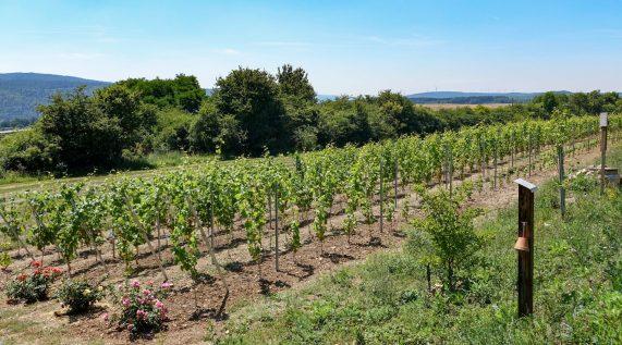 Böllerschüsse zur ersten Weinlese
