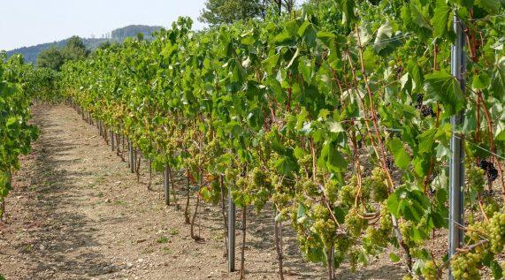 Weinfest am Weinberg
